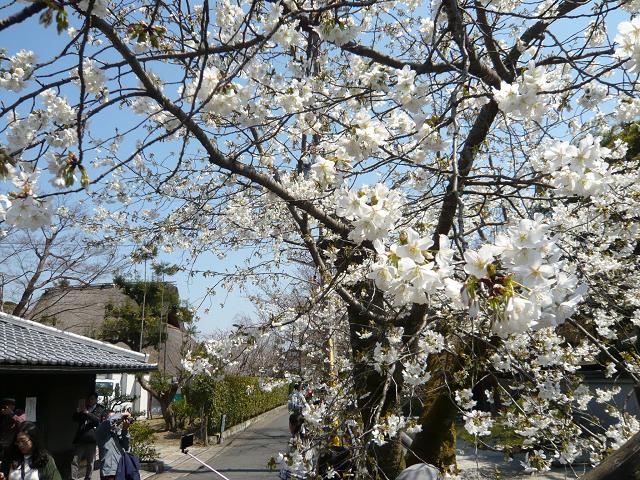 白桜0608.jpg
